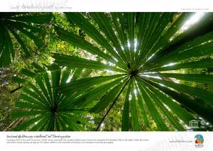 Umbrella Palms, Kinabalu Park